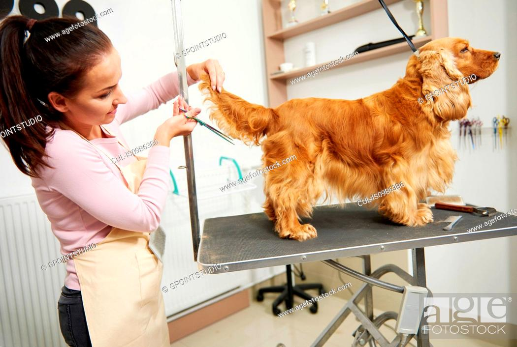 Imagen: Female groomer trimming cocker spaniel's tail at dog grooming salon.