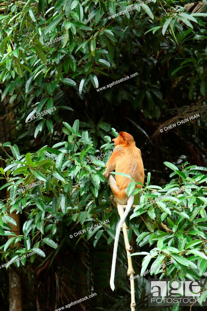 Stock Photo: Proboscis monkey at Bako National Park, Kuching, Sarawak.