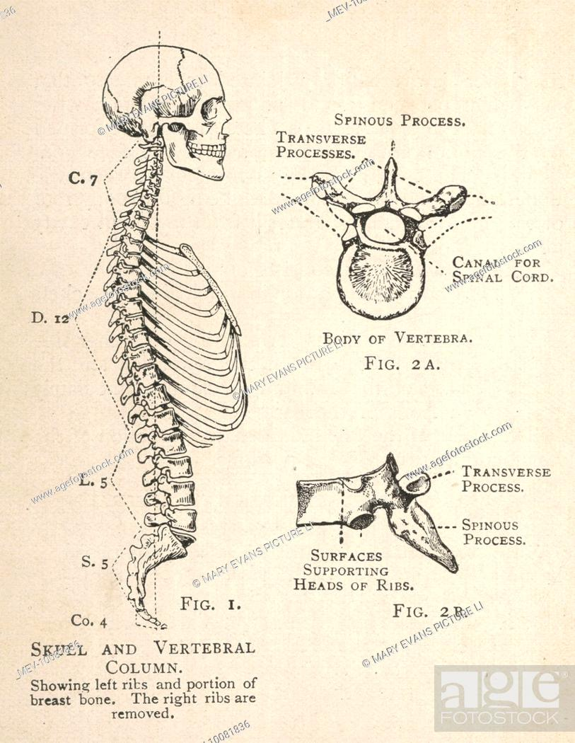 A Diagram Of The Human Skull And Vertebral Column Showing The Left