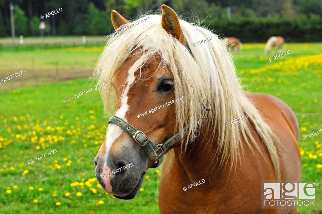 Stock Photo: Haflinger Horse Equus caballus, stallion on a meadow.