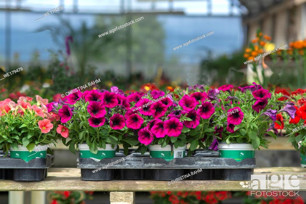 Stock Photo: Pink petunia flowers in pots inside greenhouse. Spring garden series, Mallorca, Spain.