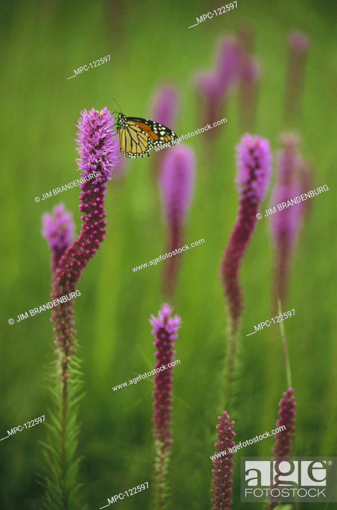 Monarch Butterfly Danaus Plexippus Resting On A Blazing Star