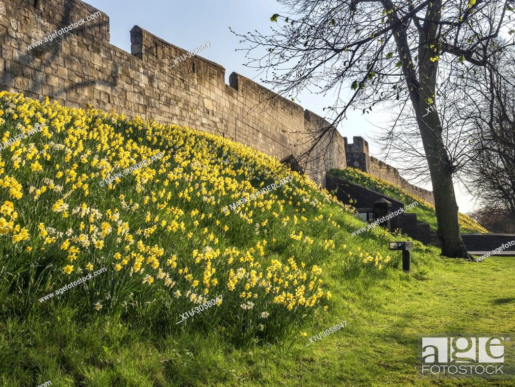 Imagen: Daffodils in flower on the bank below the city wall at York Yorkshire England.