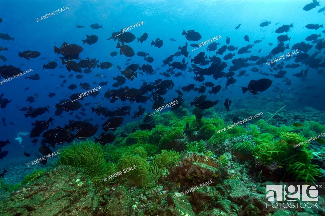 Imagen: Schooling black durgon, Melichthys niger, and seafloor covered by Caulerpa sp , Peter and St Paul's rocks, Brazil, Atlantic Ocean rr.