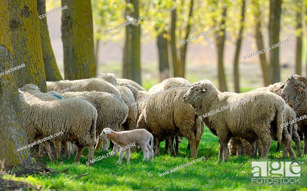 Stock Photo: Sheep Goats Graze Green Grass Spring.