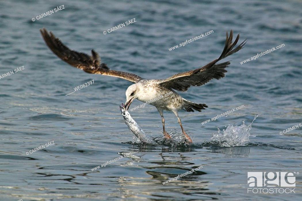 Stock Photo: Yellow-legged Gull (Larus cachinnans) fishing.