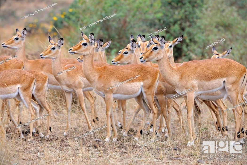 Imagen: Herd of female Impala antelopes (Aepyceros melampus), Masai Mara, Kenya, East Africa, Africa.