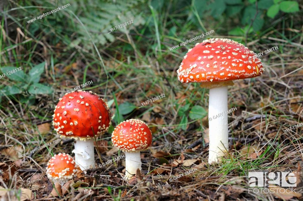 Stock Photo: Fungi, fly agaric, amanita muscaria, group of fruiting bodies in birch woodland, Norfolk, UK, September.