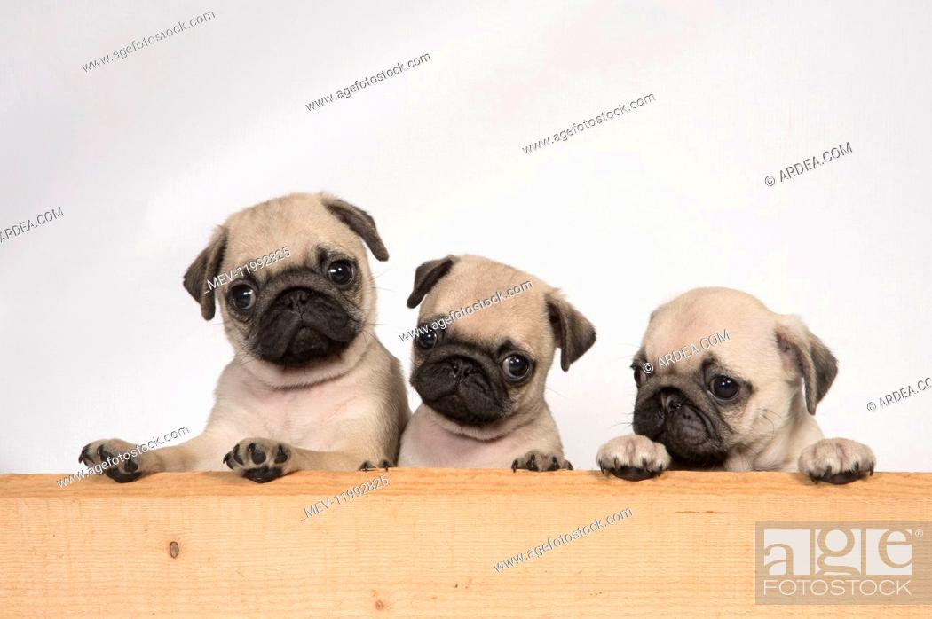 Imagen: DOG. Pug puppies ( 8 weeks old ) looking over wood.