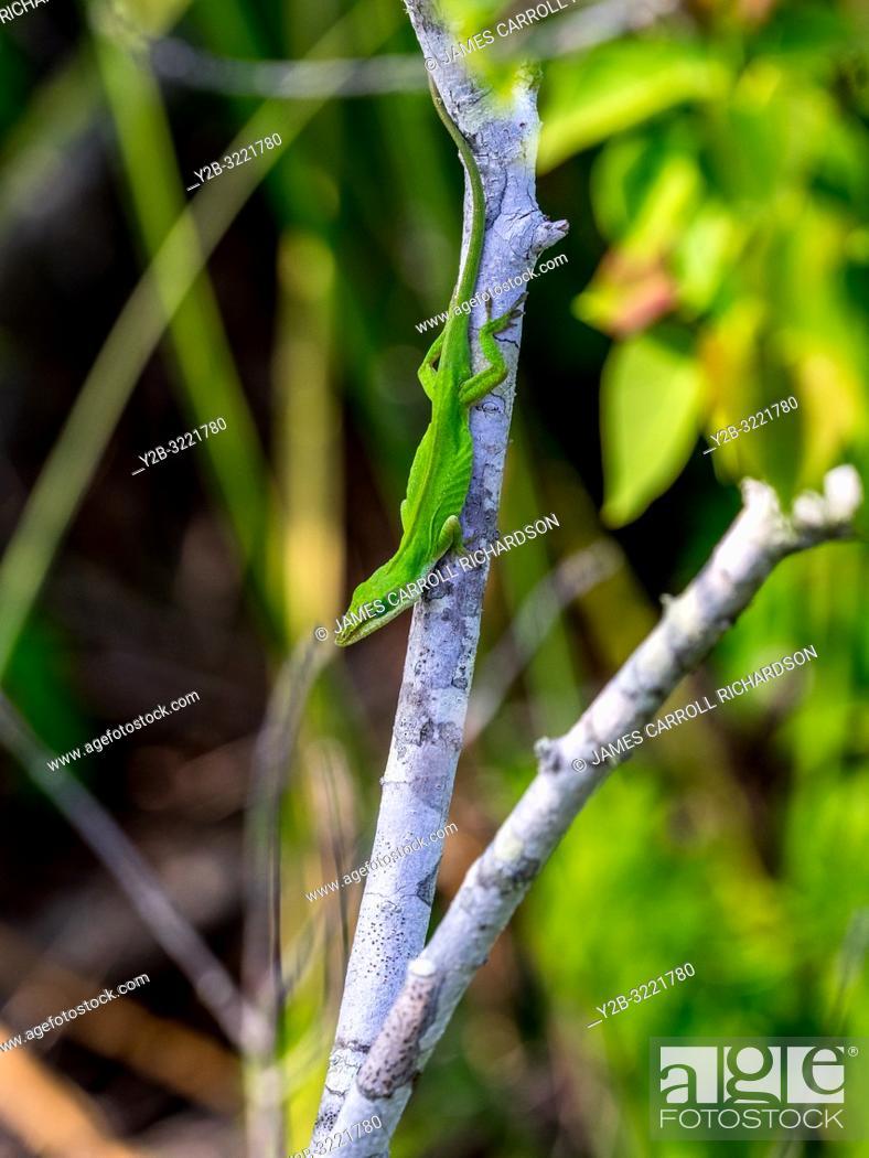 Stock Photo: Green Anole (Anolis carolinensis) Florida lzard.
