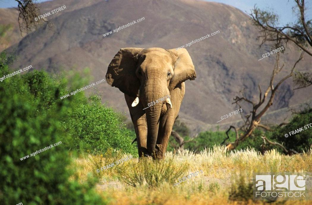 Stock Photo: Desert Elephants from Namibia.