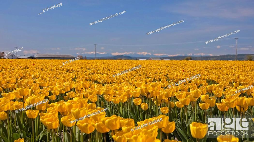 Stock Photo: This stunning spring time landscape show a massive field of yellow tulips in full bloom in a rural setting with mountains in the background Shot in Skagit.