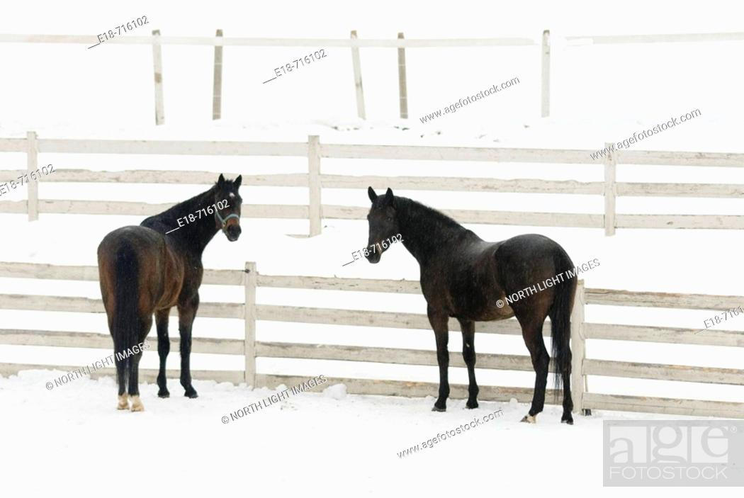 Stock Photo: Two horses standing by a fence in snow covered field, Sun Peaks, BC, Canada.