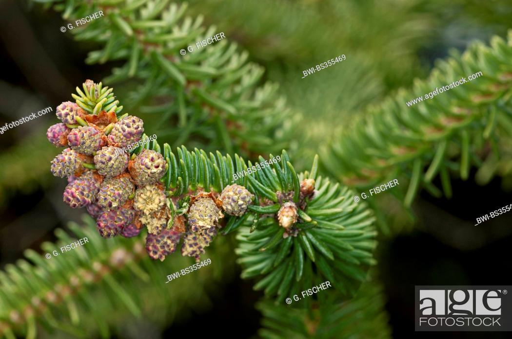 Stock Photo: Spanish Fir, Hedgehog Fir (Abies pinsapo), branch with female cones, Spain, Andalusia, Sierra de Grazalema Natural Park.