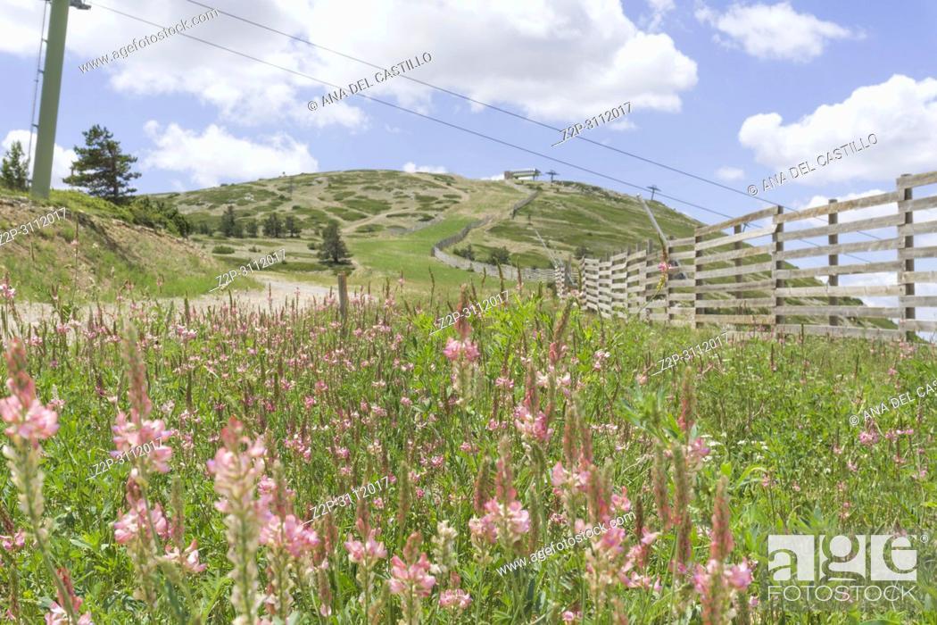 Stock Photo: Onobrychis viciifolia pink flowers Spring in Gudar Javalambre mountains Teruel Aragon Spain.