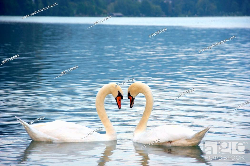 Stock Photo: Two swans in love forming heart shape.