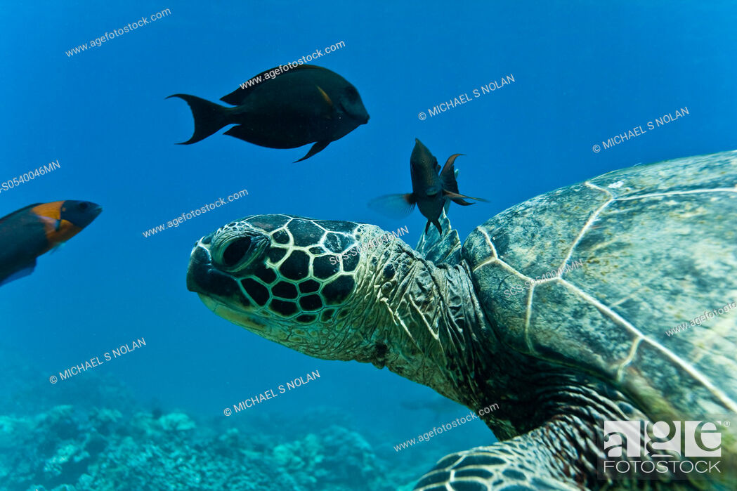 Stock Photo: Green sea turtle Chelonia mydas at cleaning station at Olowalu Reef on the west side of the island of Maui, Hawaii, USA The range of this species extends.