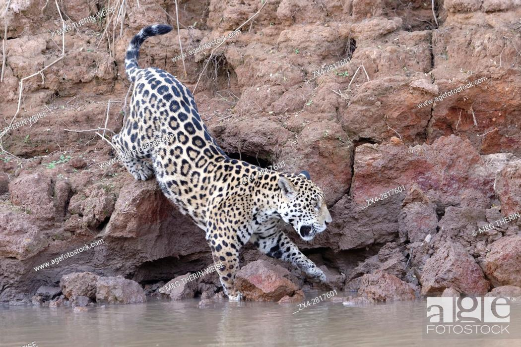 Imagen: Young Jaguar (Panthera onca) walking on a riverbank and entering the water, Cuiaba river, Pantanal, Mato Grosso, Brazil.