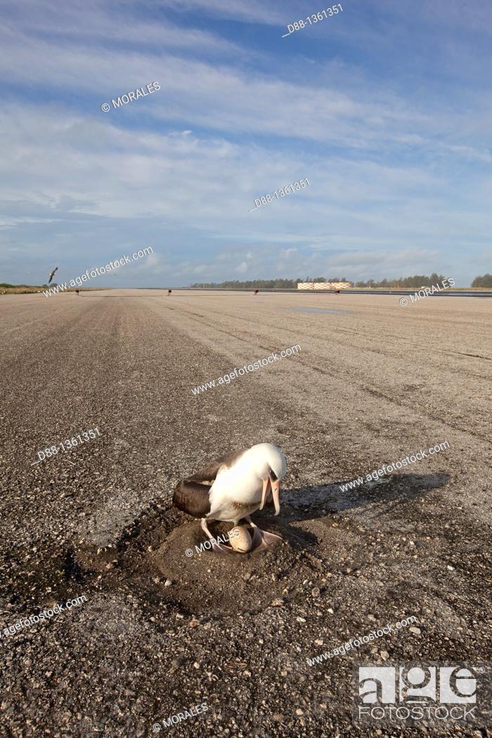 Stock Photo: Hawaï , Midway , Sand Island , Laysan Albatross ,  Phoebastria immutabilis   Airfield.