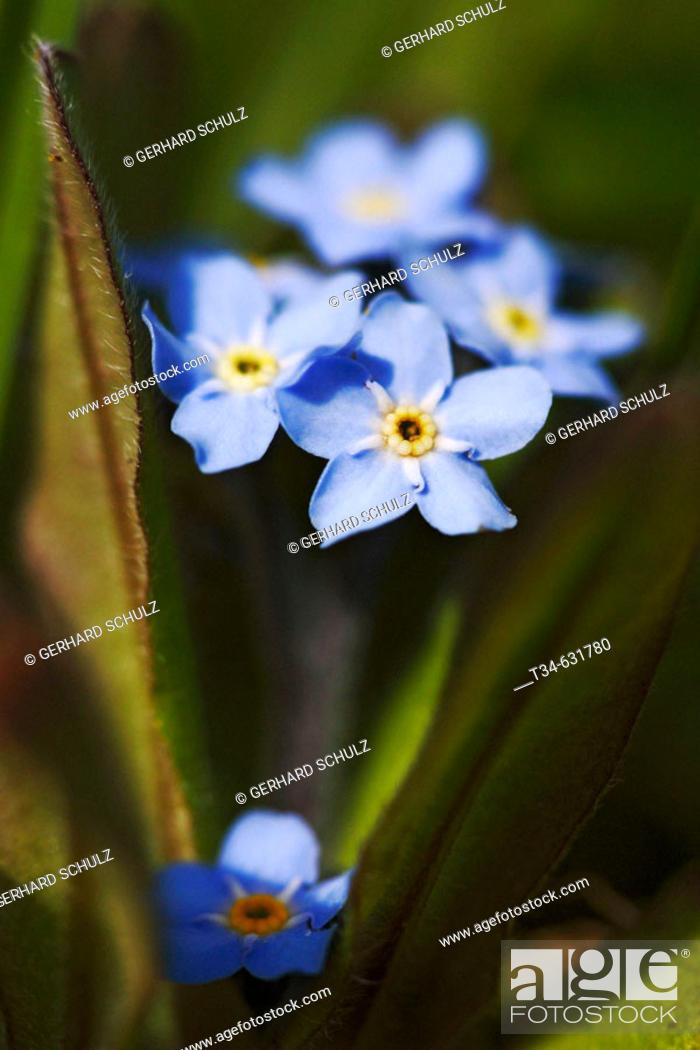 Stock Photo: Water Forgetmenot. Myosotis scorpioides. Schleswig-Holstein, Germany.