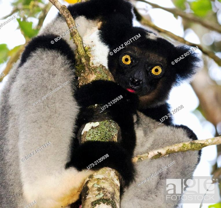Stock Photo: The Indri Indri is the largest Lemur in Madagascar. photo taken in Andasibe forest.
