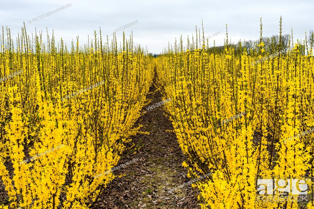 Stock Photo: Oud Gastel - The Netherlands - A field of yellow forsythia.