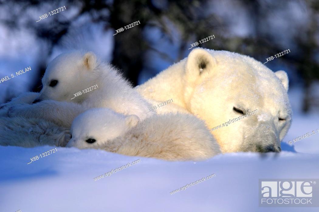 Stock Photo: Polar Bear cubs snuggled and resting on mothers body, Ursus maritimus, taiga, Churchill, Manitoba, Hudson Bay, Canada.