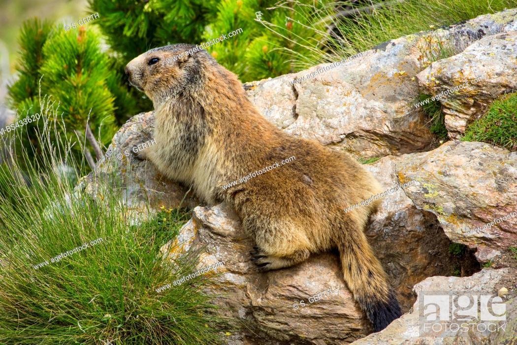 Photo de stock: alpine marmot (Marmota marmota), sunbaths on a rock, Switzerland, Valais.