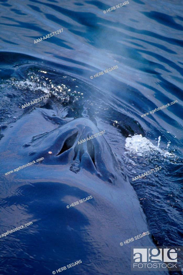 Stock Photo: Humpback Whale blowhole (Megaptera novaeangliae) MA George's Bank Provincetown.