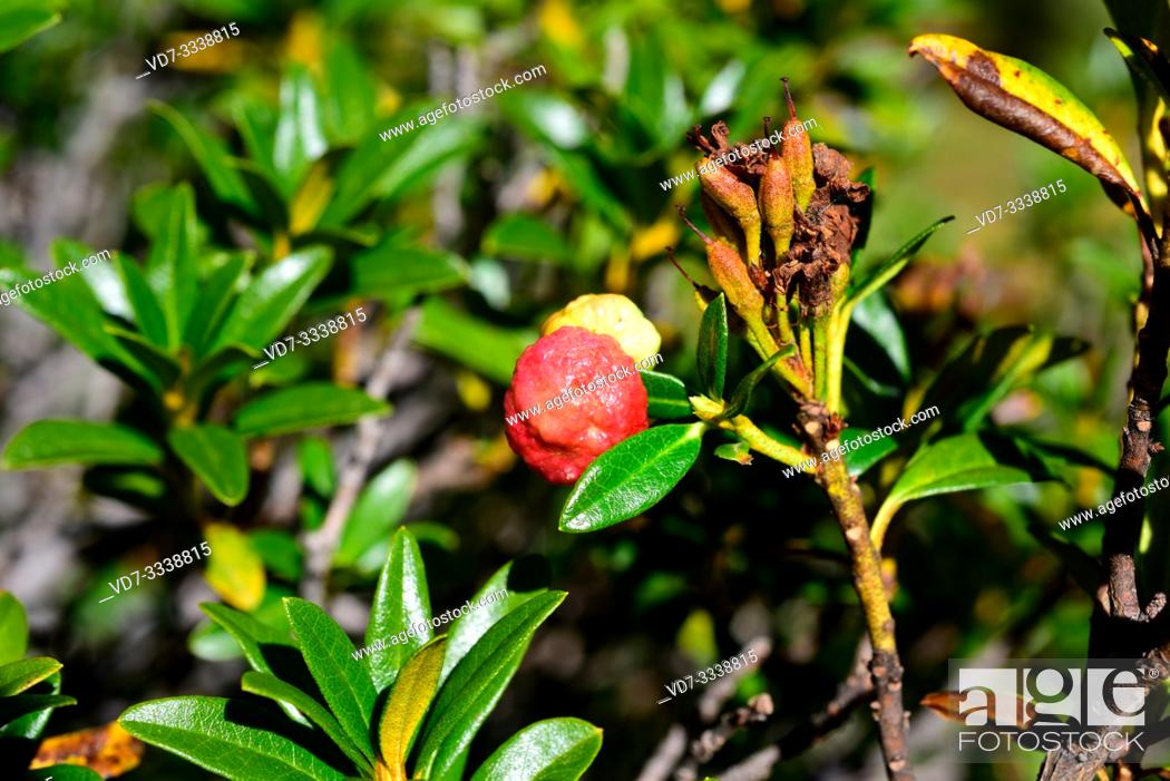 Stock Photo: Exobasidium rhododendri is a parasite fungus that grows on alpenrose (Rhododendron ferrugineum). This photo was taken in Aiguestortes National Park.