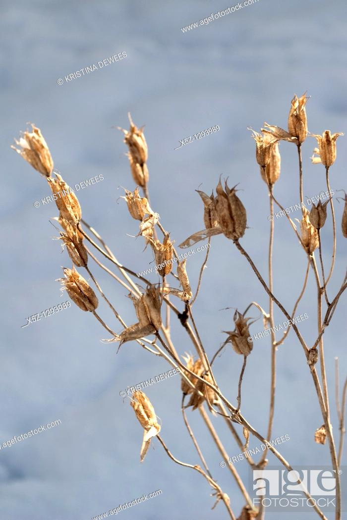 Stock Photo: Dried Columbine seed pods in the Winter.