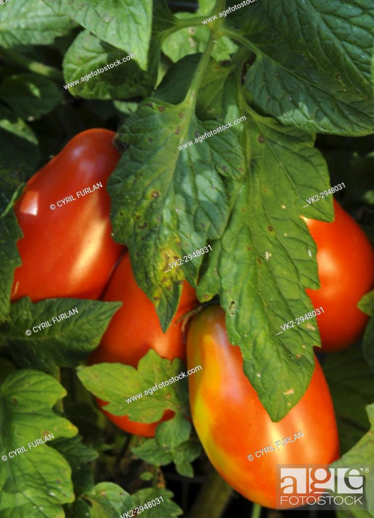 Stock Photo: Roma Tomatoes ripening on the vine.