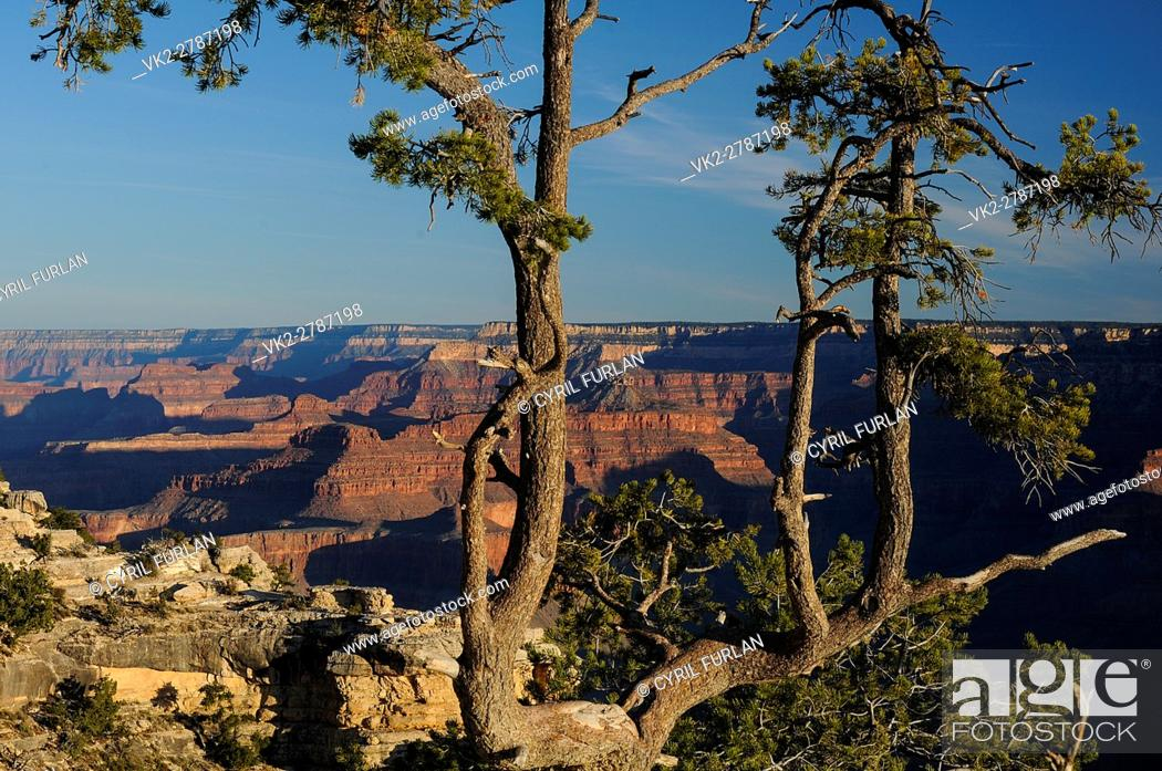 Stock Photo: Twisted Pine Growing Amid the Rocky Edge of the South Rim of The Grand Canyon at Mather point.