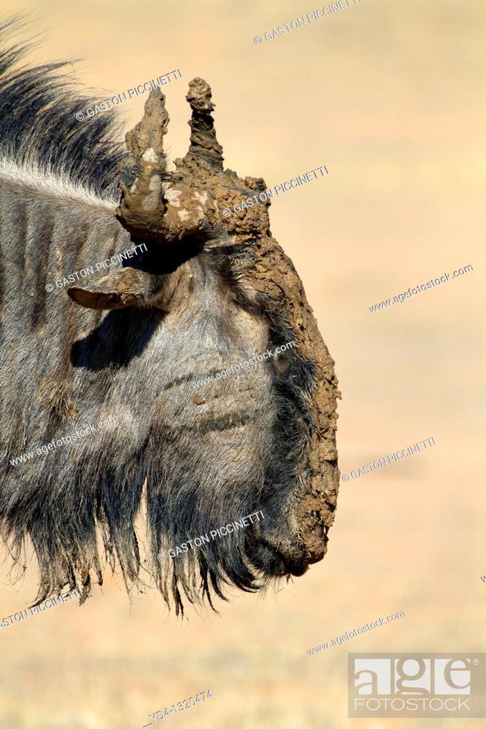 Stock Photo: Bluewildebeest Connochaetes taurinus, Mata Mata, Kgalagadi Transfrontier Park, Kalahari desert, South Africa.