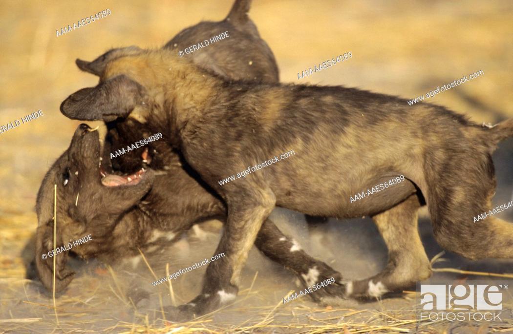 Stock Photo: Cape Hunting Dog (Lycaon pictus) Pups playing, Khwai River, Moremi, Botswana.