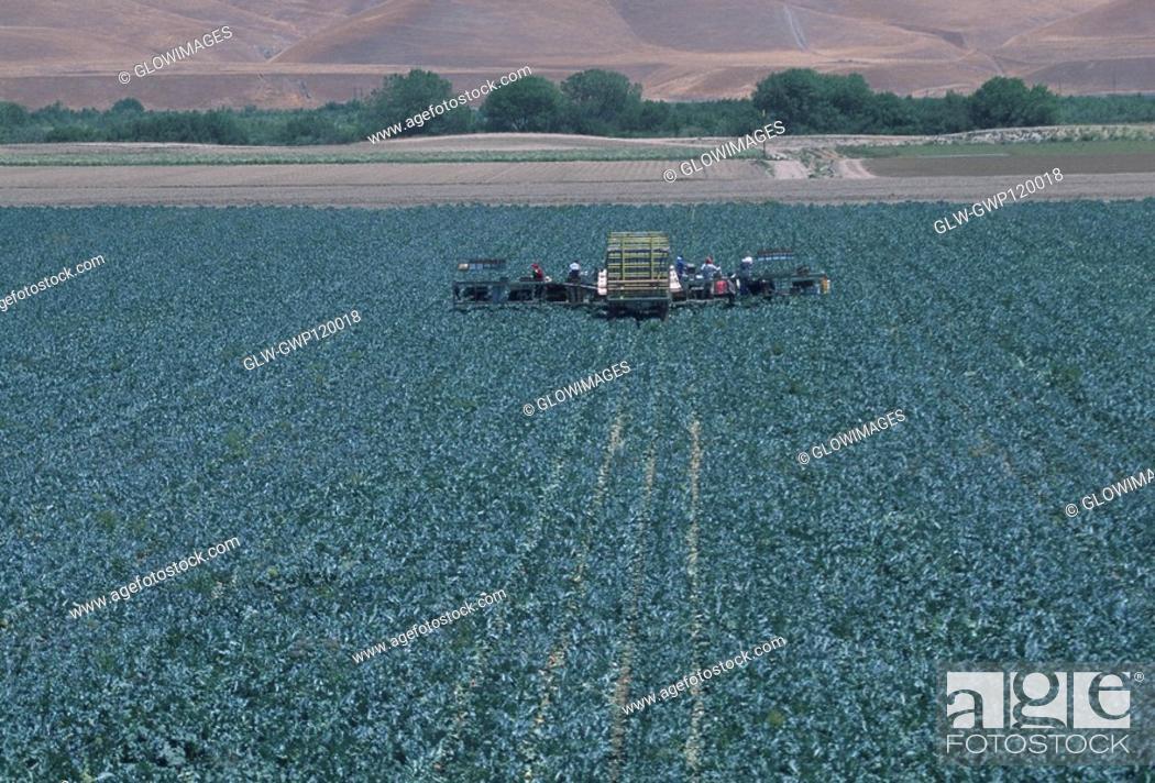 Stock Photo: Harvesting field of cauliflower.