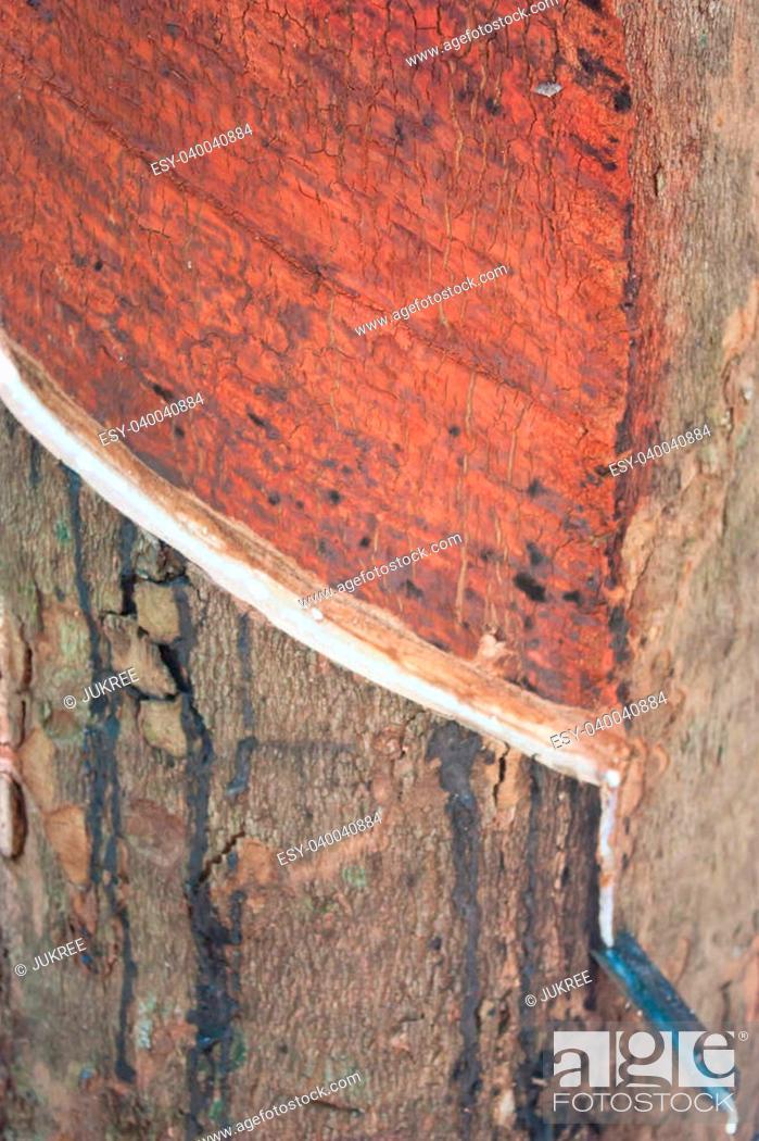 Stock Photo: Rubber tree - Hevea brasiliensis (A. Juss.) Muell. Arg., plantat.