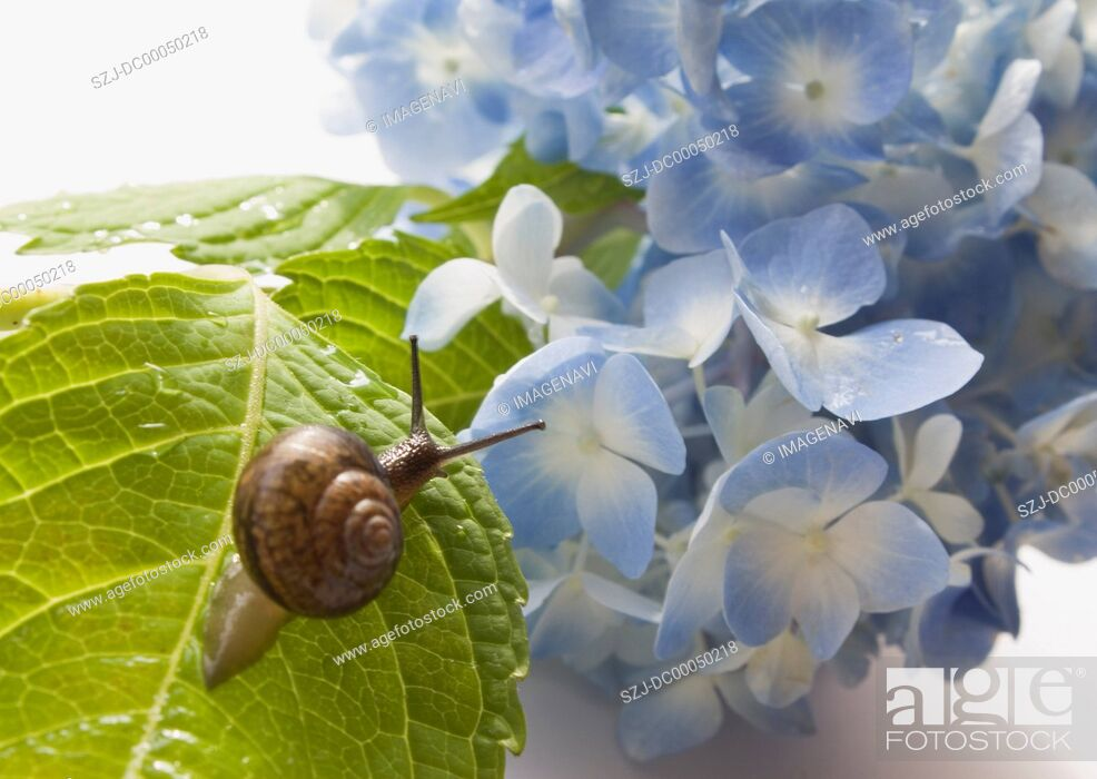 Stock Photo: Hydrangea and a snail.