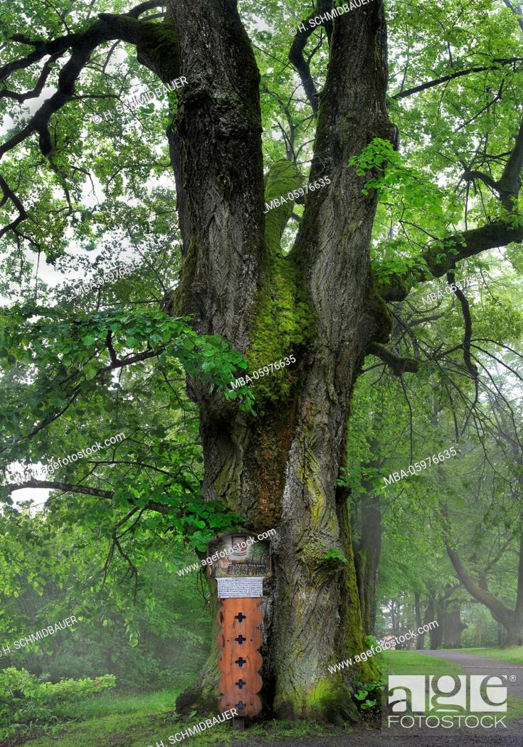 Stock Photo: Old lime tree (Tilia platyphyllos) in the fog, the Bavarian Forest, Germany.