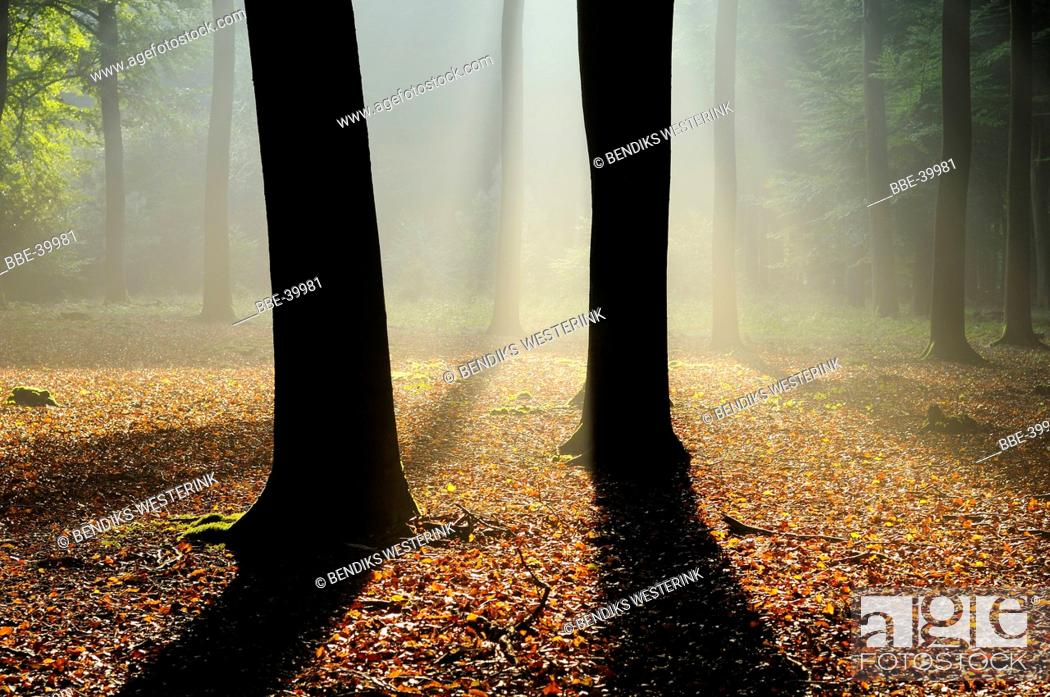Stock Photo: beech forest.