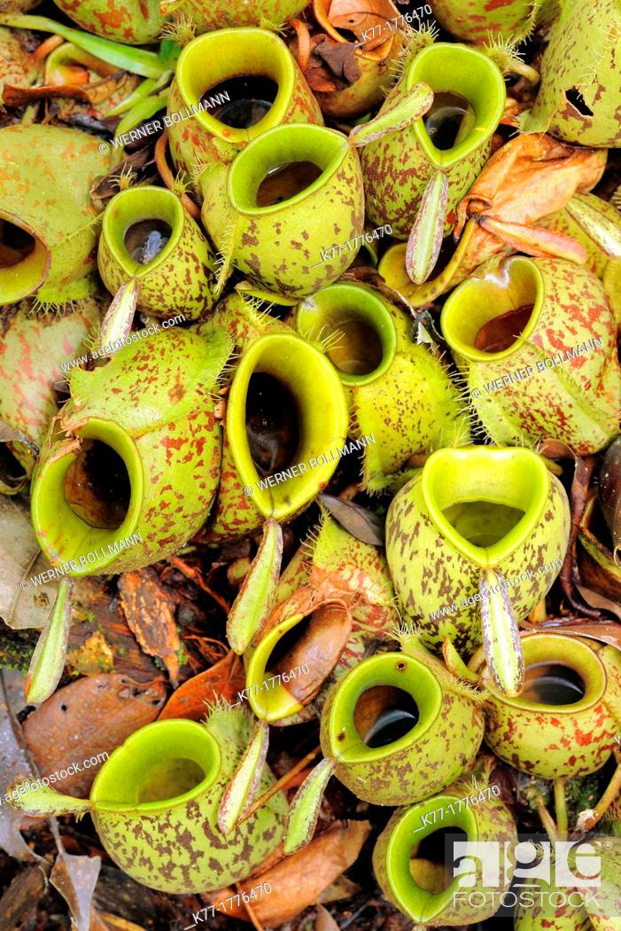 Stock Photo: Pitcher Plant Nepenthes spec , Tanjung Puting National Park, Province Kalimantan, Borneo, Indonesia.
