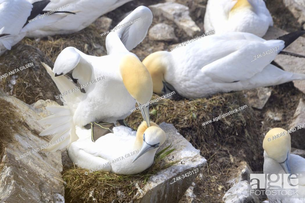Imagen: Northern Gannet (Morus bassanus) pair mating in breeding colony, Cape St. Mary's ecological reserve, Newfoundland, Canada.