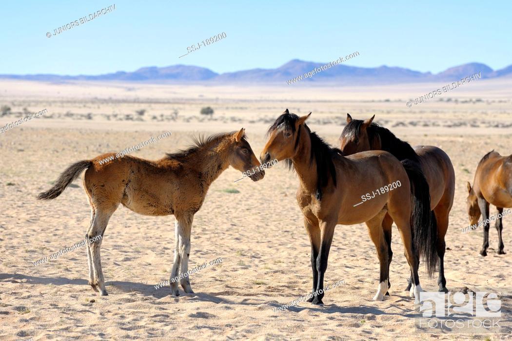 Stock Photo: Namib Desert Horse (Equus ferus caballus). Group in Garub Pan, Namib Desert, Naukluft National Park, Namibia.