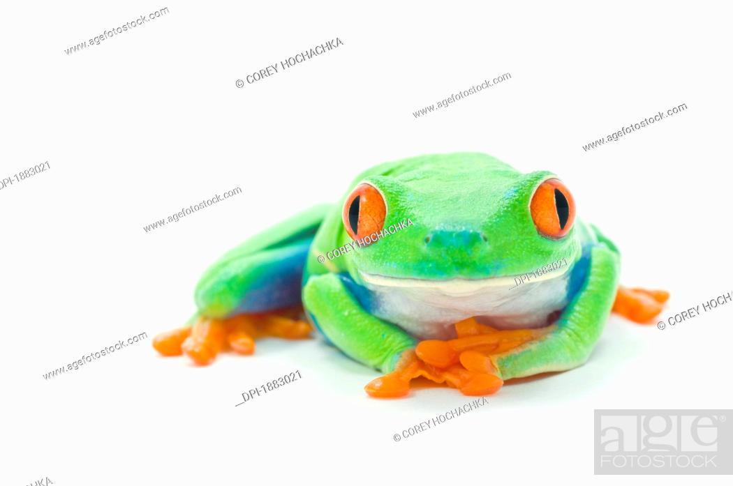 Stock Photo: Red-Eyed Tree Frog Agalychnis Callidryas.