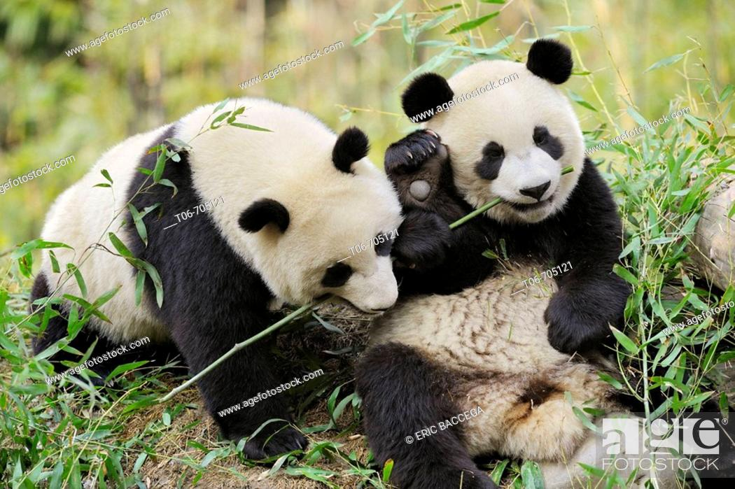 Photo de stock: Two subadult giant pandas feeding on bamboo (Ailuropoda melanoleuca) Wolong Nature Reserve, China.