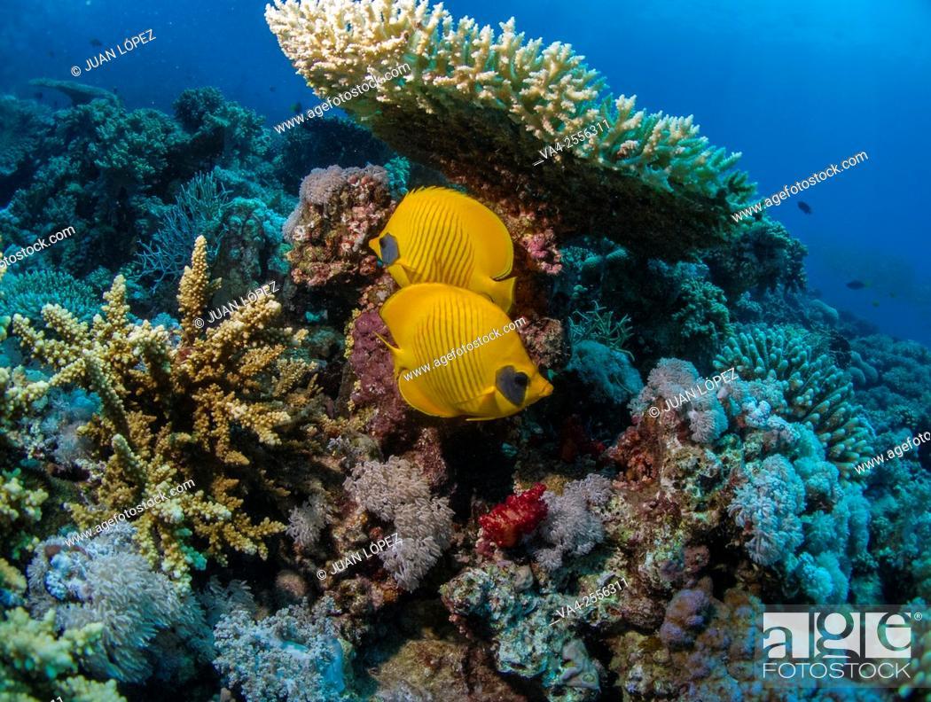 Stock Photo: Masked Butterfly Fish Chaetodon semilarvatus. Red Sea, Sharm el-Sheikh, Egypt.