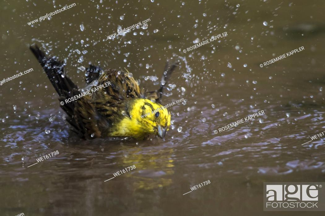Stock Photo: A yellowhammer is searching for fodder.
