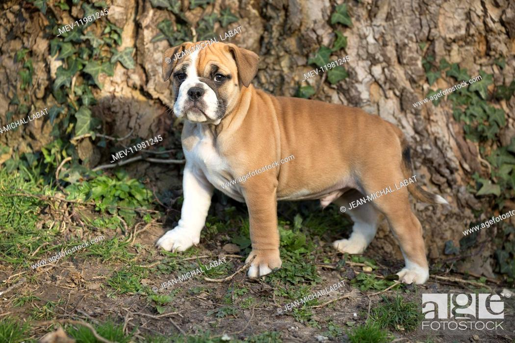 Dog Continental Bulldog Puppy Stock Photo Picture And Rights Managed Image Pic Mev 11981245 Agefotostock