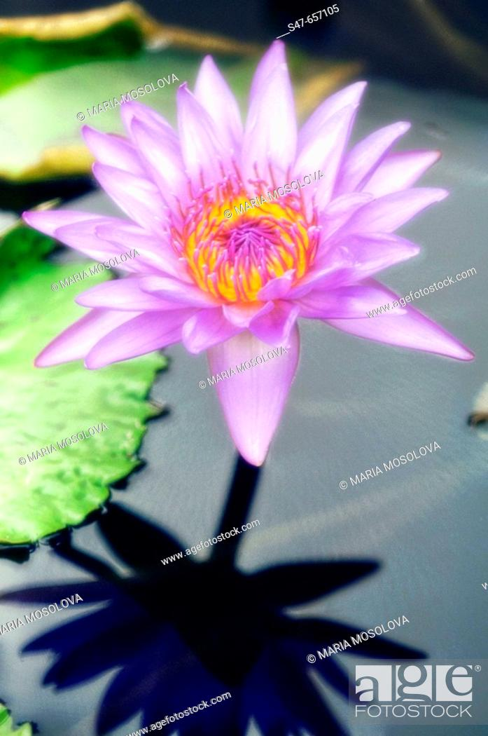 Stock Photo: Waterlily and Shadow. Nymphaea hybrid. September 2006. Maryland, USA.