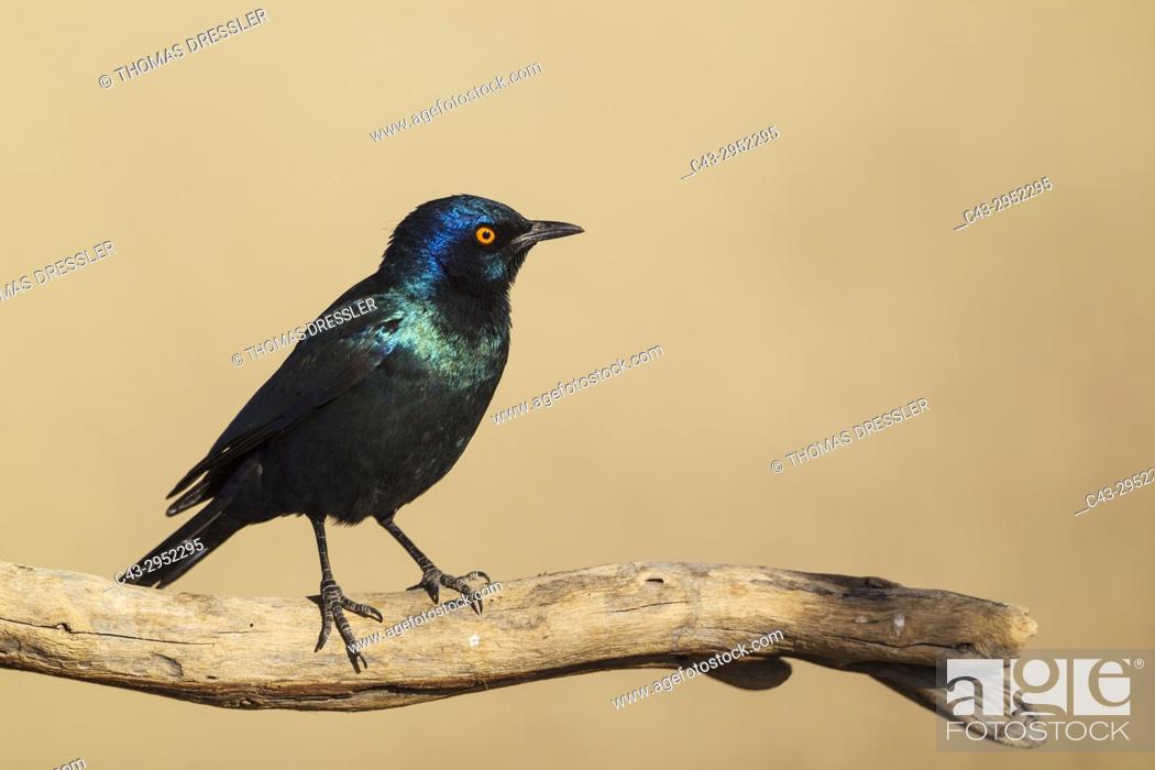 Stock Photo: Cape Glossy Starling (Lamprotornis nitens). Kalahari Desert, Kgalagadi Transfrontier Park, South Africa.